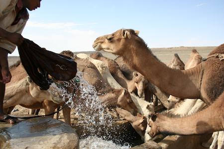 chameaux puits